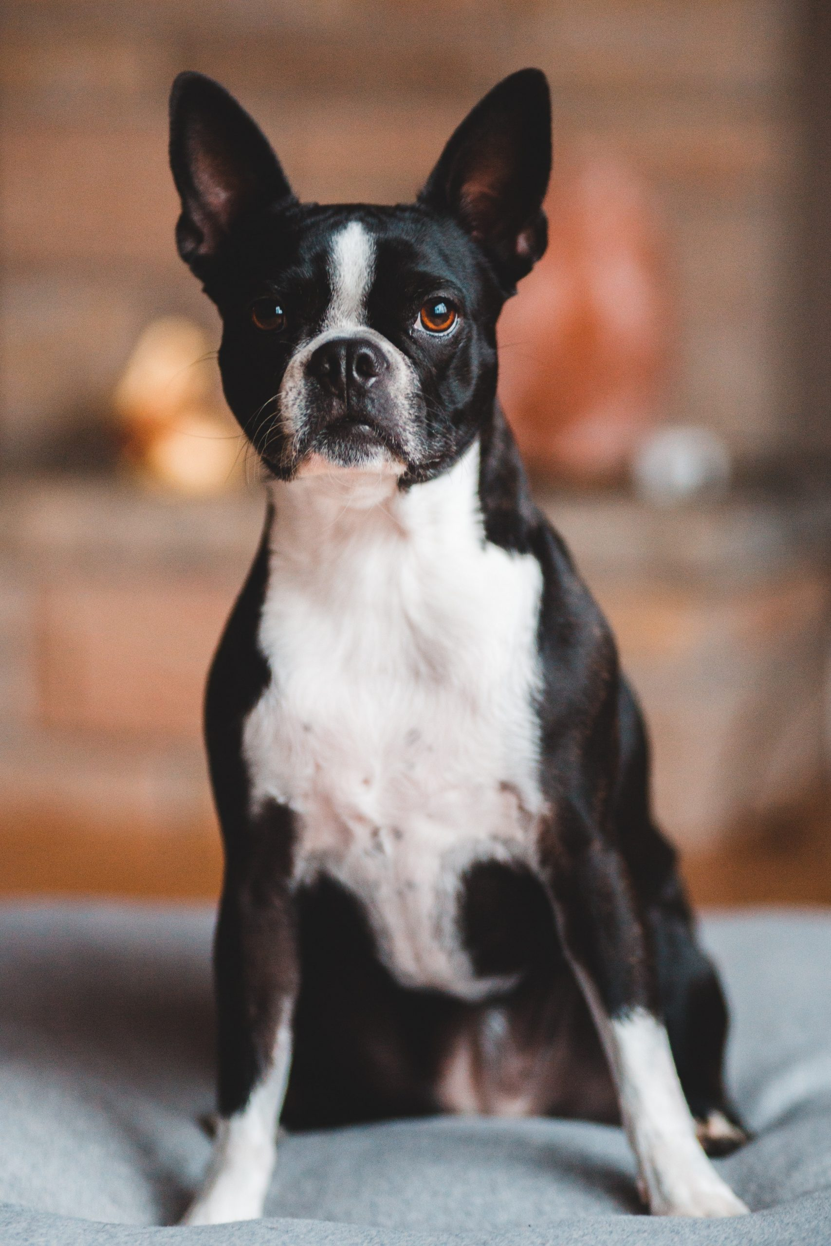 A small and healthy Boston Terrier dog.