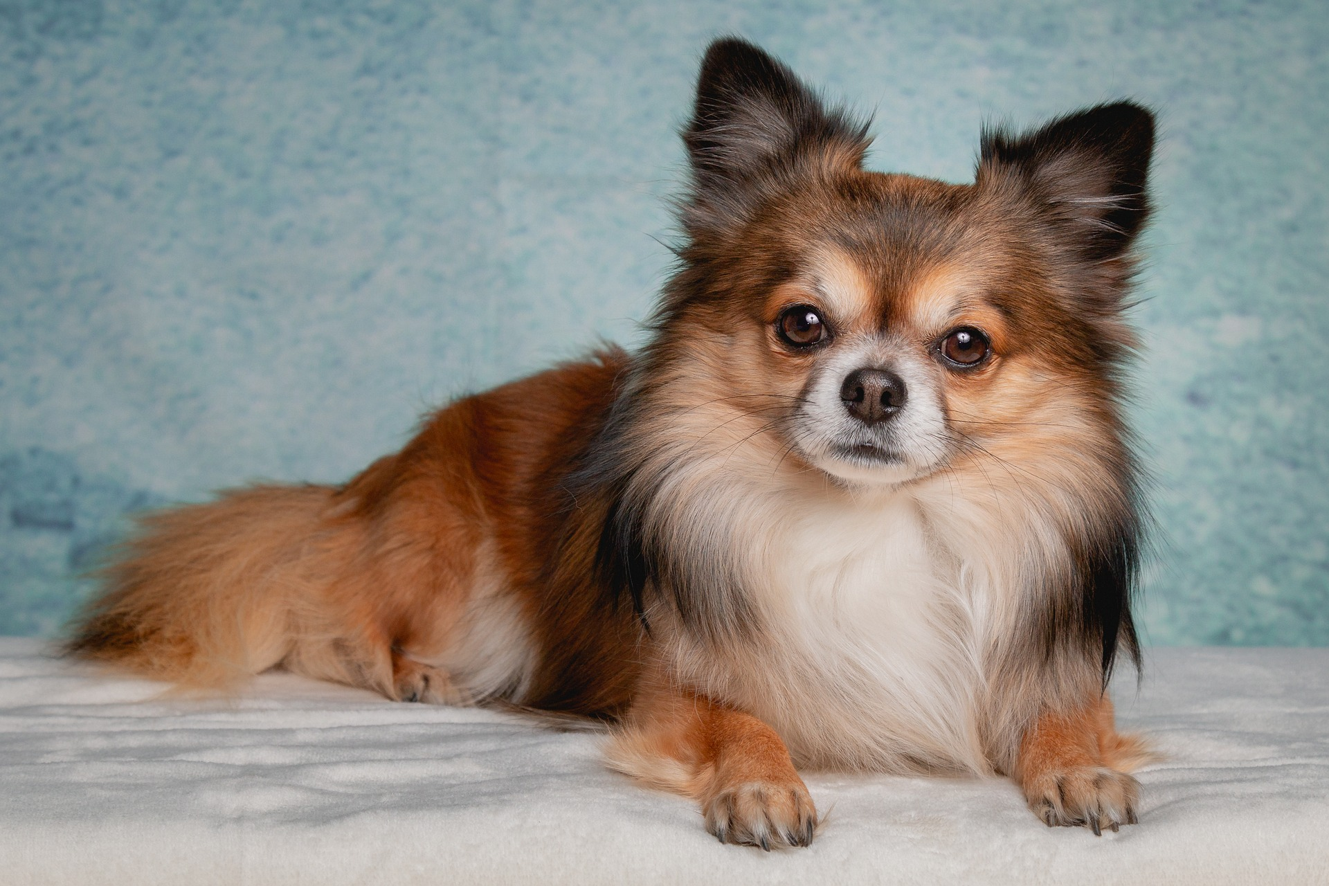 A fluffy healthy long haired Chihuahua dog.