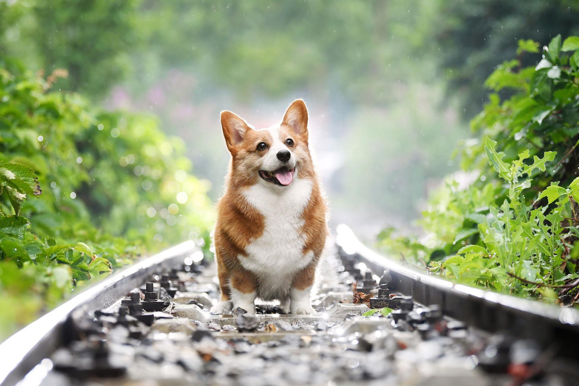A happy Corgi dog smiling while walking on old railroad tracks.