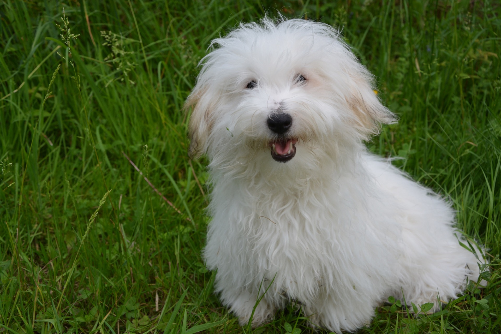 A small, white and fluffy Coton de Tulear dog smiling in grass.