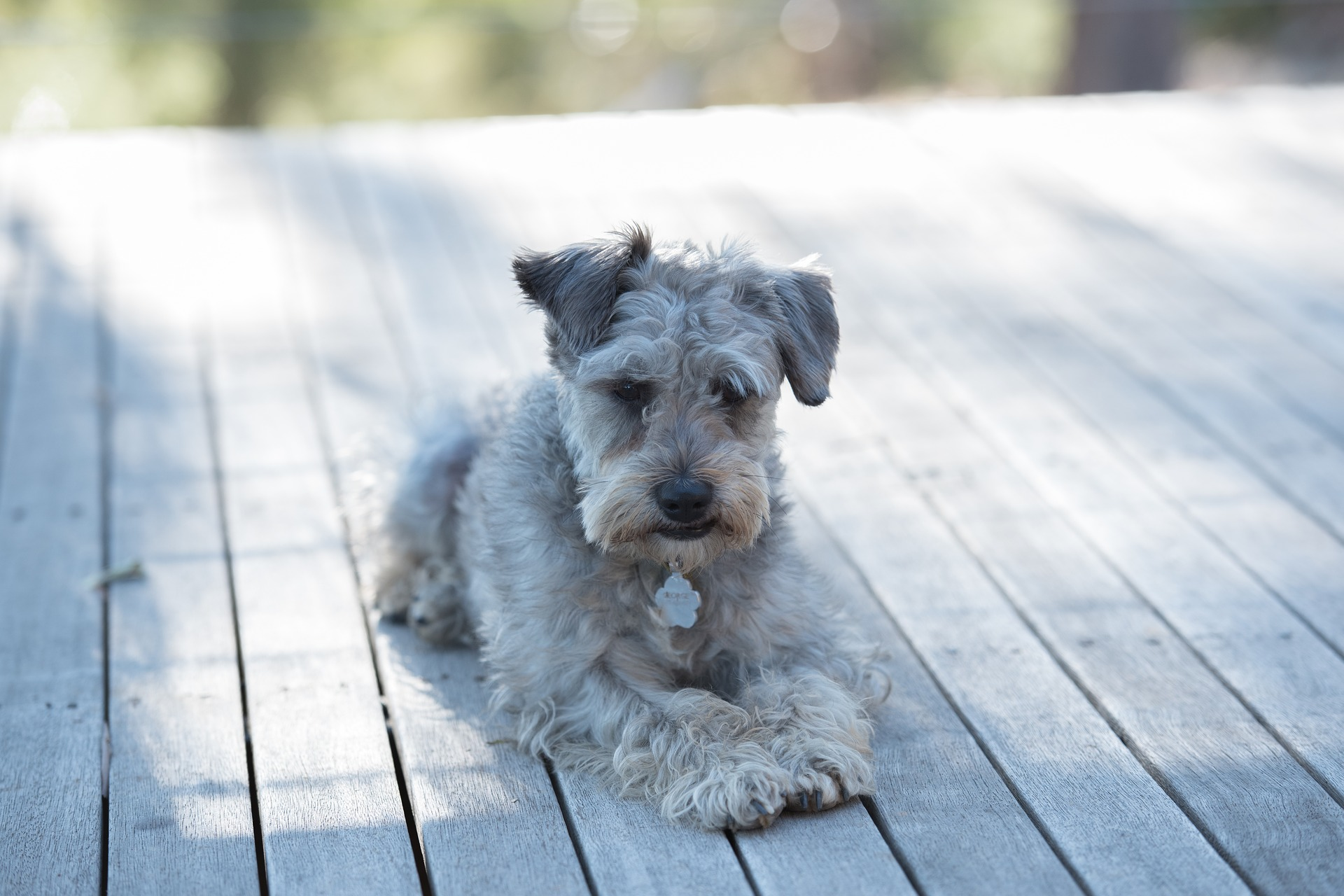 A grey Schnoodle Dog, a hybrid between Schnauzer and Poodle dog.