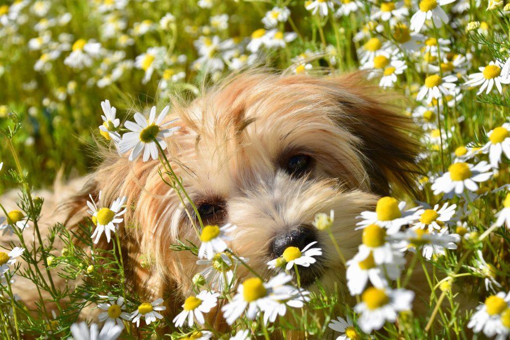 A tan Havanese Dog in a field of daisy flowers.