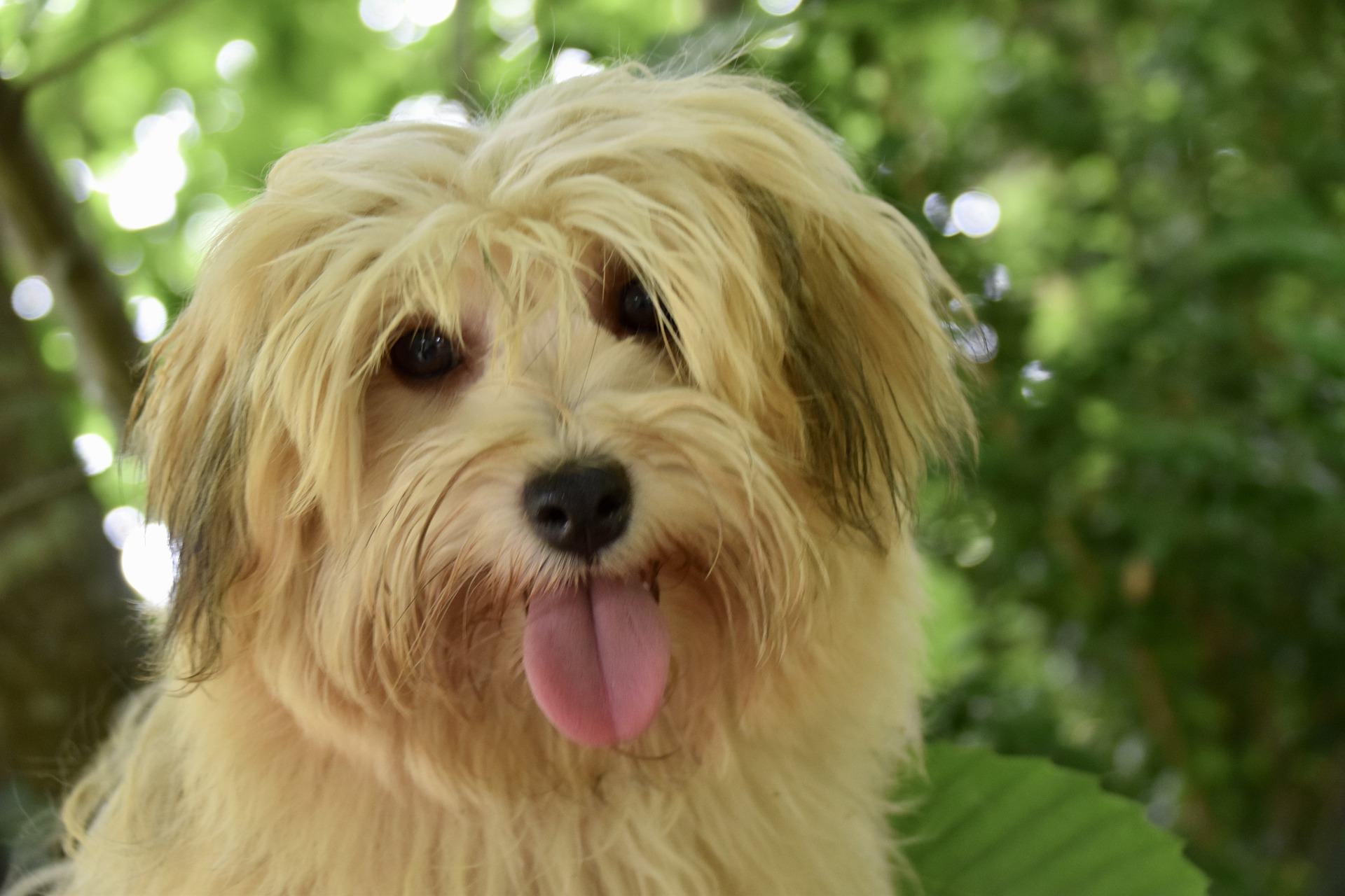 A fluffy Havanese dog smiling with its tongue out.