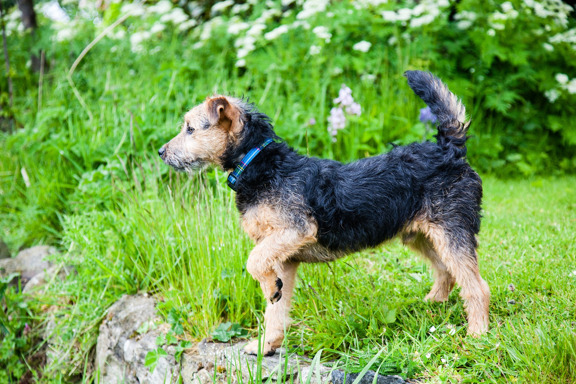 A black and tan Lakeland Terrier Dog standing in grass.