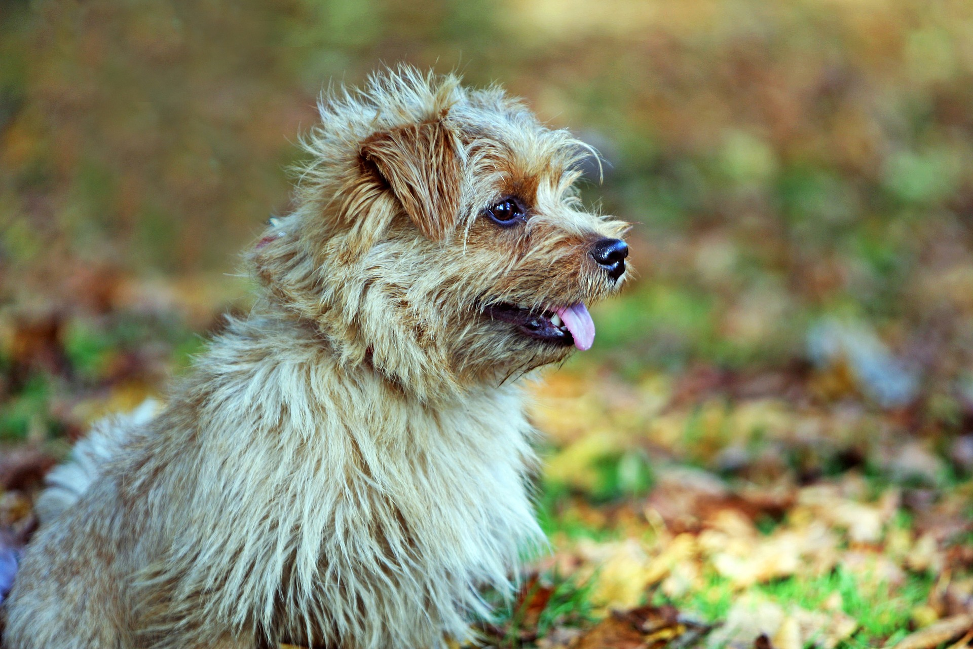 A light brown Norfolk Terrier dog outside in the woods.