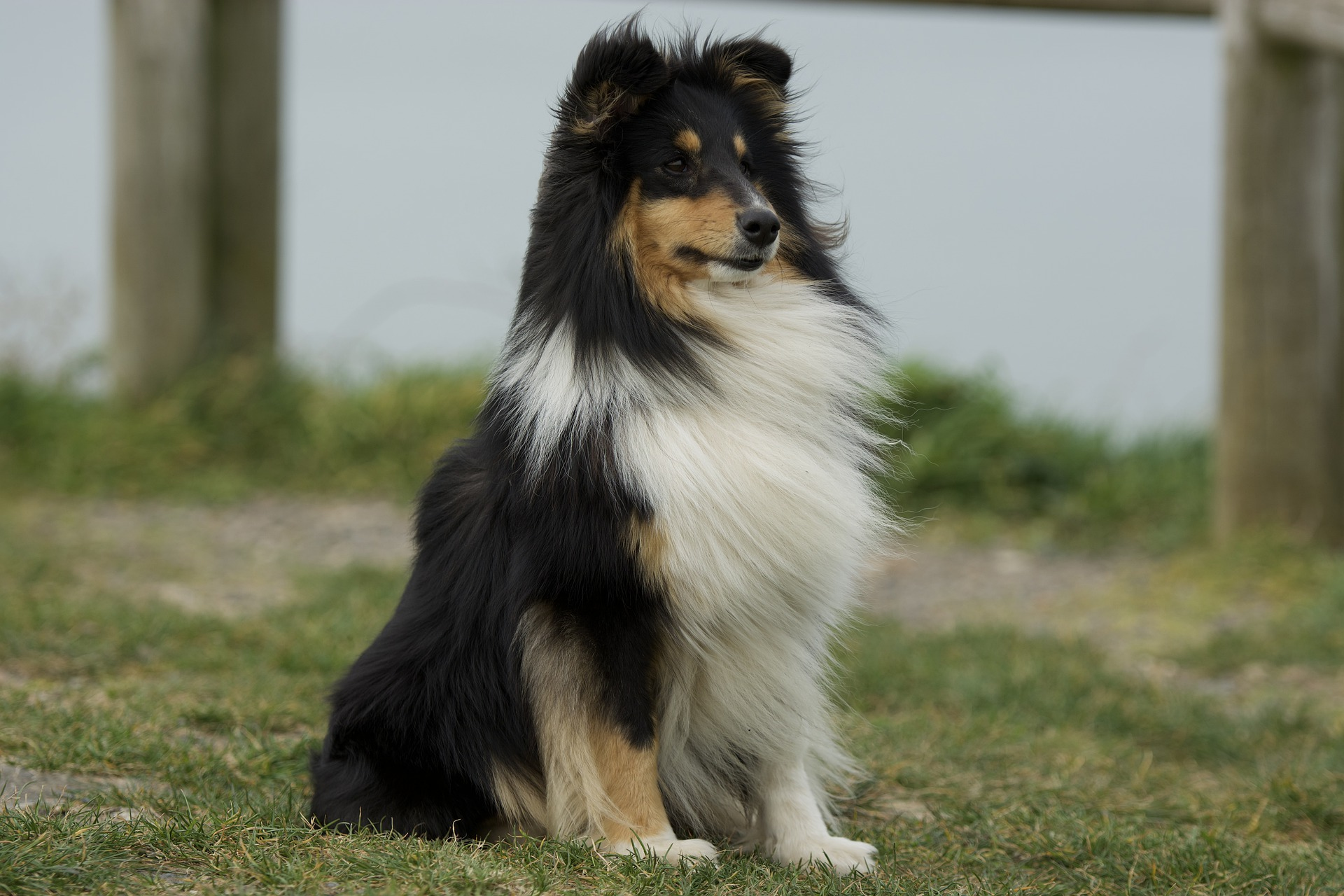 A brown and tan Shetland Sheepdog with white markings.