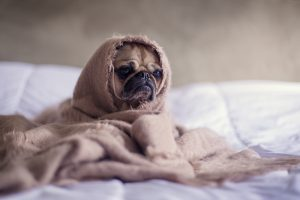 A Pug dog wrapped up comfortably in a blanket.