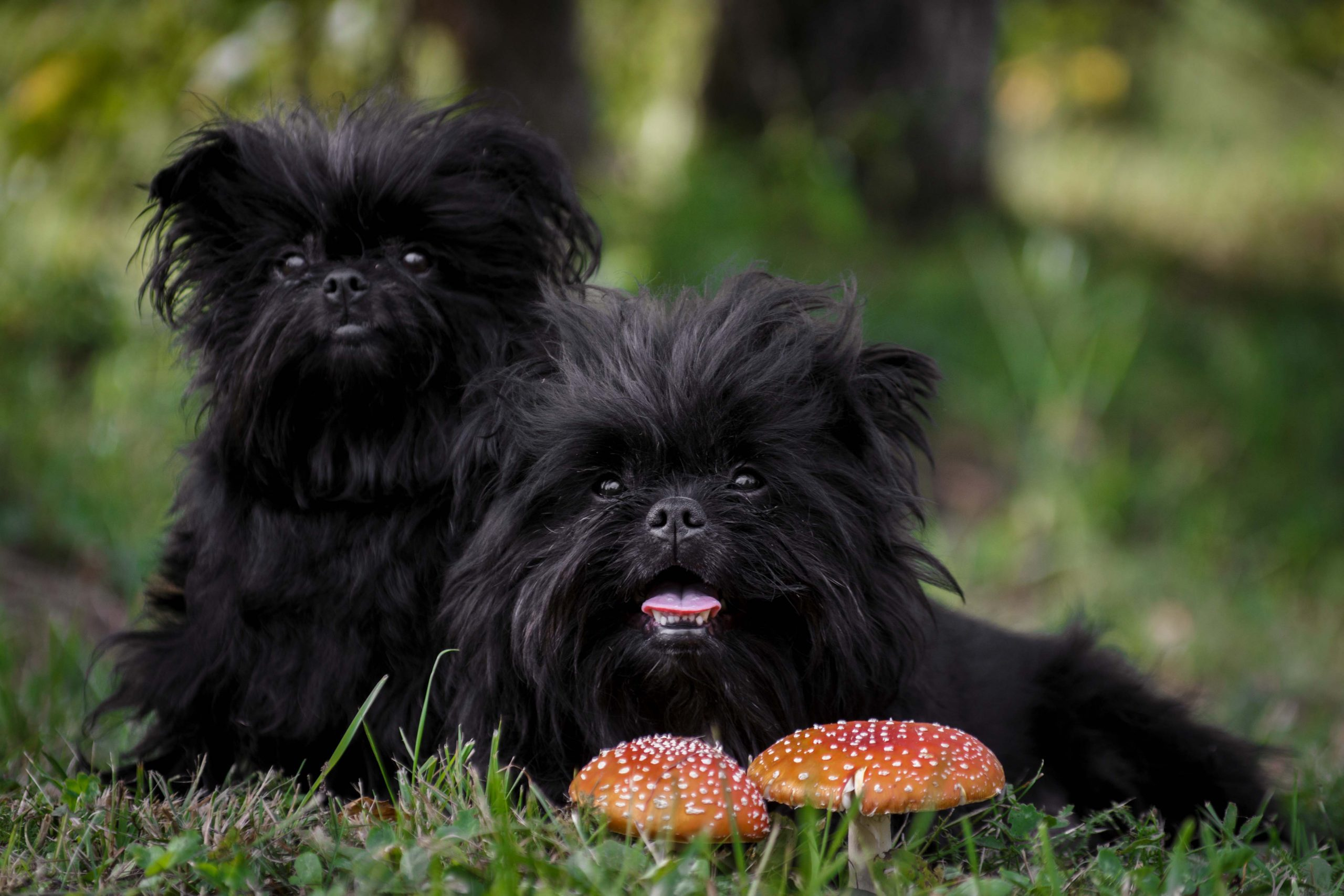 Two fluffy black Affenpinscher dogs sitting together next to decorative mushrooms.