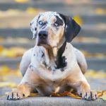 A Catahoula Leopard Dog lying down on stairs during autumn / fall.
