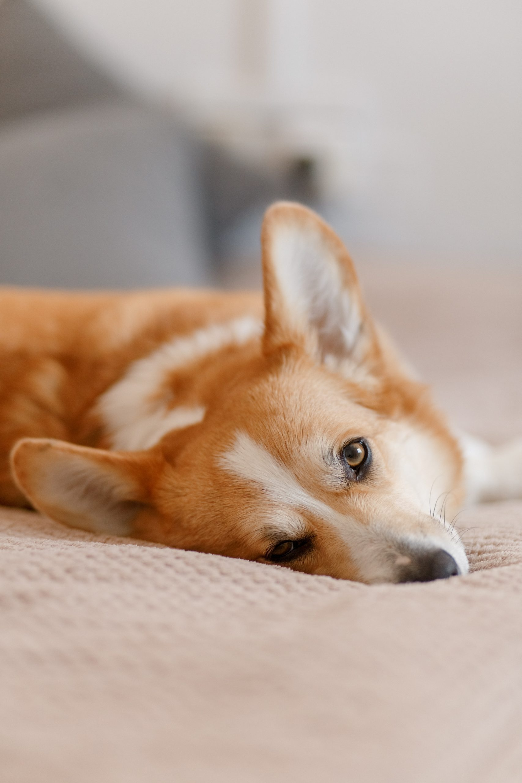 A Pembroke Welsh Corgi in bed staring lovingly at their human.