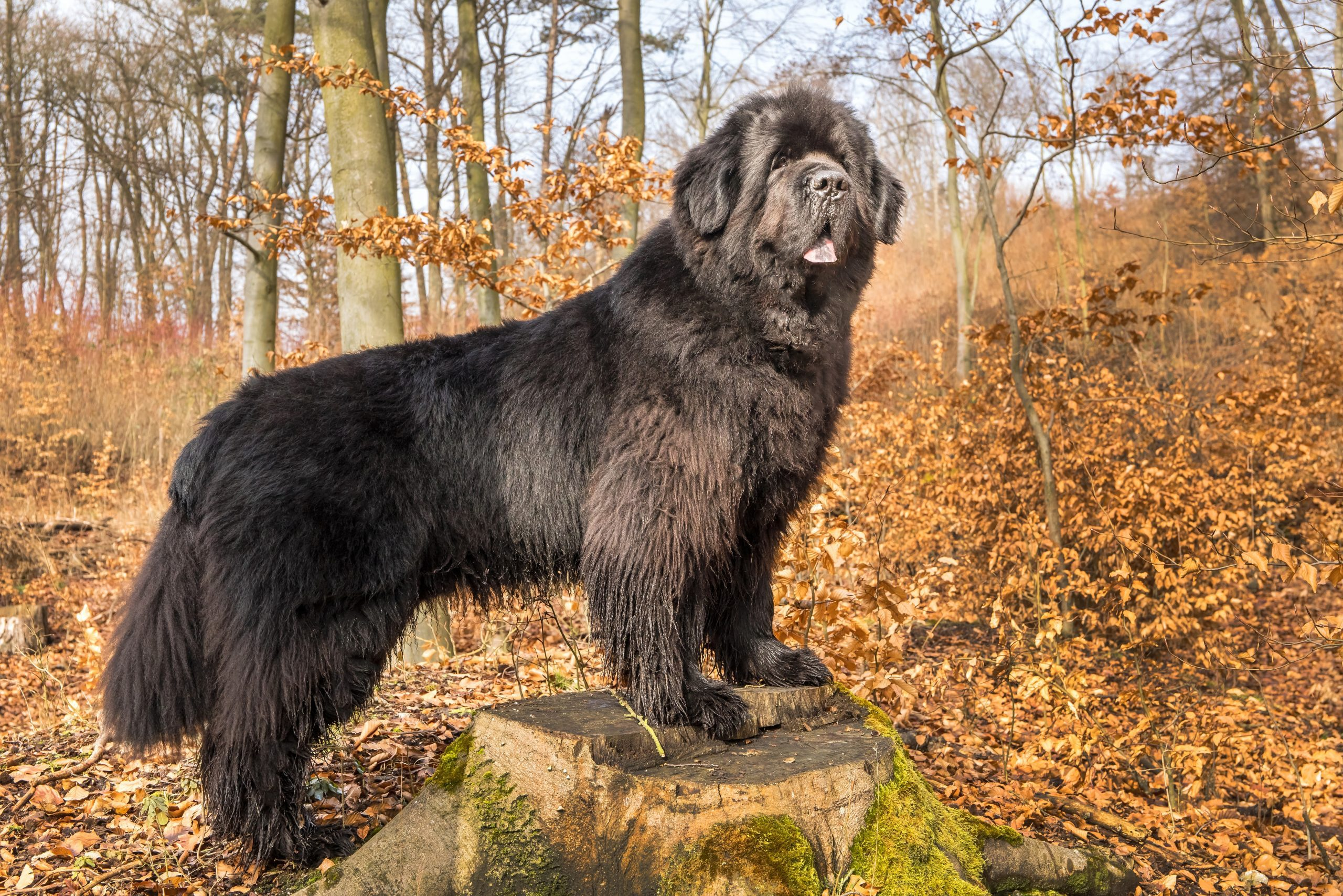 A giant dog breed, the Newfoundland Dog standing on a rock outside.